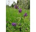 Семена люцерны  сорт Багира - Саженцы, растения в Краснодаре