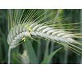 Семена озимого тритикале сорт Тихон на зерно и зеленую массу - Саженцы, растения в Краснодаре