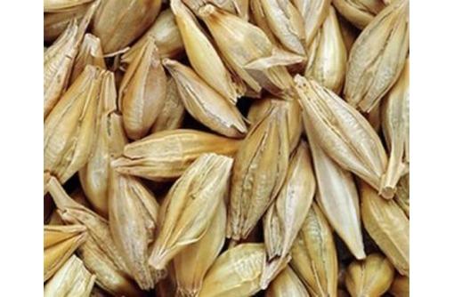 Семена озимого ячменя Рубеж, Стратег - Саженцы, растения в Краснодаре