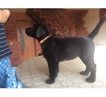 Чистопородный  щенок  лабрадора - Собаки в Краснодаре