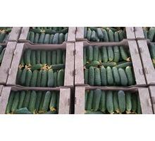 Продаем огурцы оптом в Краснодарском крае, огурец оптом краснодарский - Эко-продукты, фрукты, овощи в Краснодарском Крае