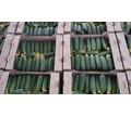 Продаем огурцы оптом в Краснодарском крае, огурец оптом краснодарский - Эко-продукты, фрукты, овощи в Краснодаре