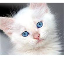 Роскошные белоснежки  украшение дома! - Кошки в Краснодарском Крае