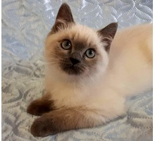 КОТЯТА- британской породы. КОТИКИ  ФМР - Кошки в Краснодарском Крае