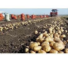 Продаем картофель оптом Краснодарский край,картофель оптом в Краснодаре - Эко-продукты, фрукты, овощи в Краснодарском Крае