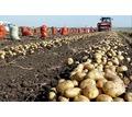 Продаем картофель оптом Краснодарский край,картофель оптом в Краснодаре - Эко-продукты, фрукты, овощи в Краснодаре