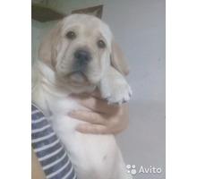 Продам щенка породы Лабрадор - Собаки в Краснодаре
