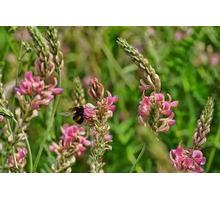 Семена эспарцета сорт Песчаный 1251 - Саженцы, растения в Краснодаре