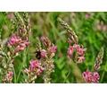 Семена эспарцета Песчаный 1251 - Саженцы, растения в Краснодаре