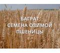 Семена озимой пшеницы Баграт - Саженцы, растения в Тихорецке