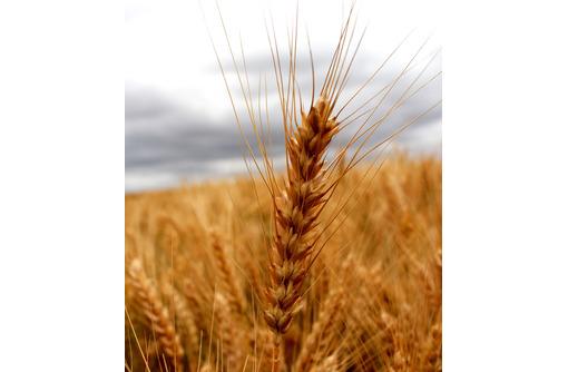 Семена озимой пшеницы Еланчик, Таня, Тимирязевка-150, Юка, Юбилейная-100 - Саженцы, растения в Краснодаре