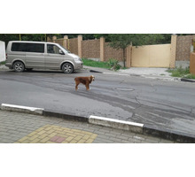 Найдена собака породы спаниель по ул. Свердлова д. 5 с ошейником. Очень красивый окрас, дружелюбный. - Собаки в Геленджике