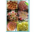 Гибискусы садовые,хойи-комнатные - Саженцы, растения в Анапе