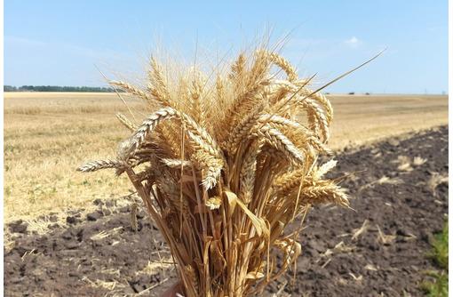Семена озимой пшеницы Алексеич, Ахмат, Безостая 100, Гром, Гомер, Граф, Гурт - Саженцы, растения в Краснодаре