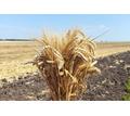 Семена озимой пшеницы Алексеич, Баграт, Безостая 100, Гром, Гомер, Граф, Гурт - Саженцы, растения в Краснодаре