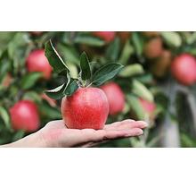 Требуются сотрудники в бригаду на сбор яблок - Сельхоз услуги в Краснодарском Крае