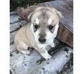 Щенок хаски - Собаки в Белореченске