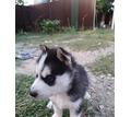 Щенкам 1,5 месяца - Собаки в Белореченске
