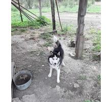 Голубоглазый мальчик 8 месяцов - Собаки в Белореченске