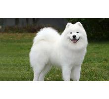 Щенки Лайки и Самоеда - Собаки в Белореченске