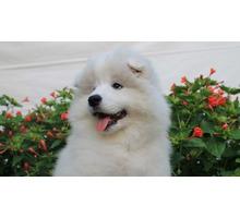 Щенки самоеда - Собаки в Белореченске