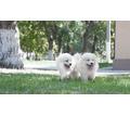 Мальчики и девочки самоеда - Собаки в Белореченске