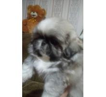 Щенок пекинеса палевого окраса - Собаки в Белореченске