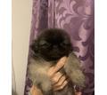 Королевский пекинес - Собаки в Белореченске