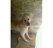 Золотистый Ретривер - Собаки в Белореченске