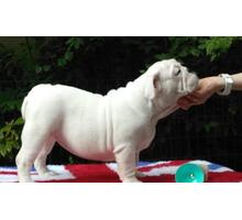 Щенки английского бульдога. 3 месяца - Собаки в Краснодарском Крае