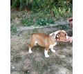 Английский бульдог щенки - Собаки в Белореченске