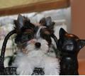 Щенки бивера - Собаки в Белореченске