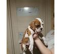 Боксер щенки 1.5 мес - Собаки в Белореченске
