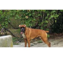 Подрощенный щенок боксера - Собаки в Краснодарском Крае