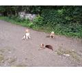 Воспитание, дрессировка собак,курс послушания для щенков с 3 месяцев - Дрессировка, передержка в Краснодарском Крае