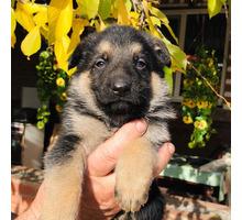 Продам щенков немецкой овчарки - Собаки в Краснодарском Крае