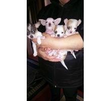 Маленькие красивые кнопочки - Собаки в Курганинске