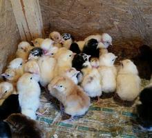 Цыпленок суточный доставка бесплатно - Птицы в Ейске