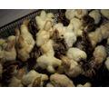 Индюшонок суточный доставка бесплатно - Птицы в Ейске