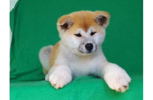 Японская акита девочка продаётся - Собаки в Армавире
