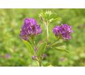 Семена люцерны Манычская, Багира - Саженцы, растения в Краснодаре