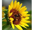 Семена подсолнечника среднеспелый сорт Мастер - Саженцы, растения в Краснодаре