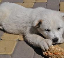 щенки алабая любимцы семьи - Собаки в Курганинске