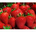 Рабочие на сбор ягод(клубники,малины) - Сельское хозяйство, агробизнес в Краснодарском Крае