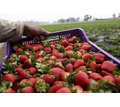Клубника сезон 2020 от производителя в Краснодаре - Эко-продукты, фрукты, овощи в Краснодаре