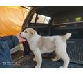 Продаются щенки среднеазиатской овчарки - Собаки в Анапе
