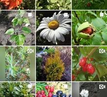 Продажа кустарников и многолетних растений. - Саженцы, растения в Краснодаре