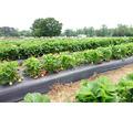 Продаем пленку для мульчирования 2-й сорт от производителя - Сельхоз услуги в Краснодаре