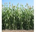 Семена суданской травы Камышинская 51, Краснодарская 75 - Саженцы, растения в Краснодаре