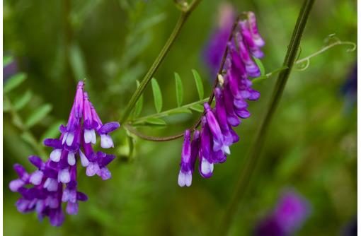 Семена вики озимой Глинковская - Саженцы, растения в Краснодаре